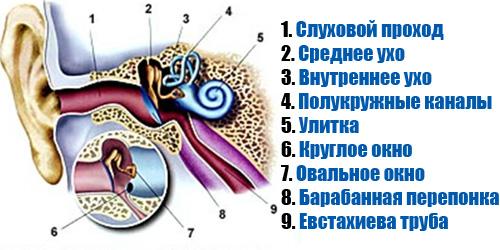 Строение уха, расположение евстахиевой трубы