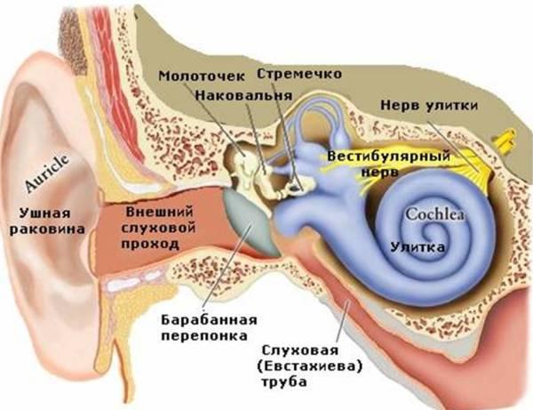 Расположение внутреннего уха