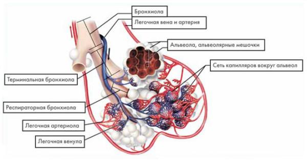 Бронхиола и альвеолярный мешочек