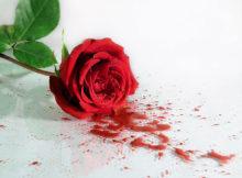 роза в крови